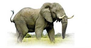 الأفيال ضحية تجارة العاج