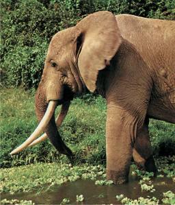 تعد الفيلة الإفريقية المصدر الرئيس للعاج